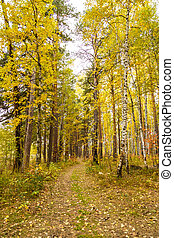 Autumn in pine and birch forest - Golden autumn in pine and...