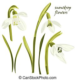 Set beautiful snowdrop flowers. Vector illustration....