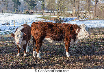 Hereford calves in winter meadow with snow - Two Hereford...