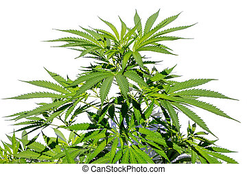 Hemp plant isolated on white background - Cannabis or weed...
