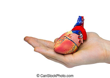 Artificial human heart model on hand isolated on white...
