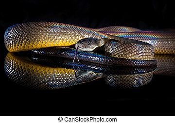 Rainbow Serpent Water Python - Liasis fuscus - isolated on...