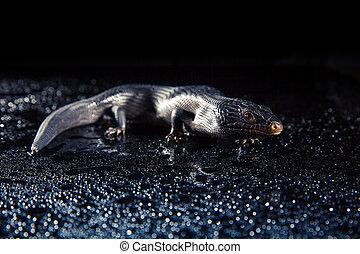 Black blue tongued lizard in wet dark environement - Black...