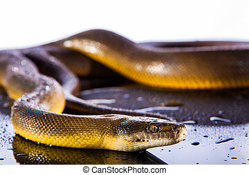 Single Rainbow Serpent Water Python - Liasis fuscus -...