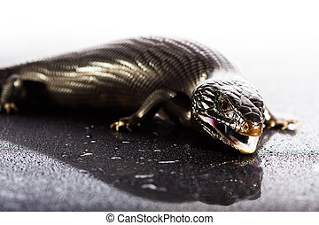 Black blue tongued lizard in wet shiny environement - Black...