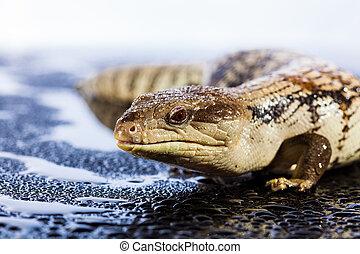 Australian blue tongued lizard in wet dark shiny...