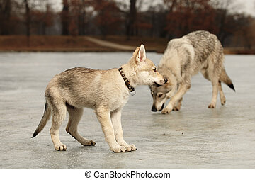 Two young light wolfdogs in winter day park - Eight months...