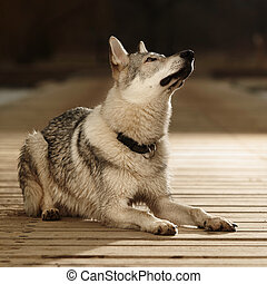 Young light wolfdog sitting on pier in winter day park -...