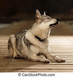 Young light wolfdog laying on pier in winter day park -...