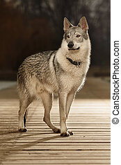 Young light wolfdog staying on pier in winter day park -...