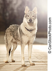 Young light wolfdog posing for portrait in winter day park -...