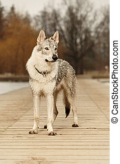 Listening young light wolfdog posing in winter day park -...