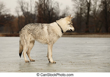 Young light wolfdog on frost river in winter day park -...