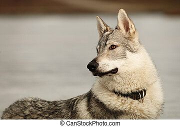 Attentive young light wolfdog in winter day park - Eight...
