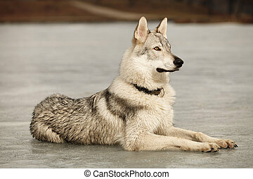 Young light wolfdog laying on ice in winter day park - Eight...