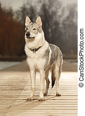 Young light wolfdog watching in winter day park - Eight...