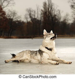Young light wolfdog on ice in winter day park - Eight months...