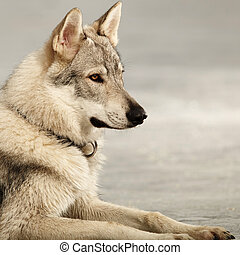 Young light wolfdog portrait in winter day park - Eight...