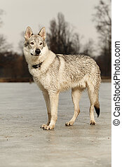Young light wolfdog staying in winter day park - Eight...