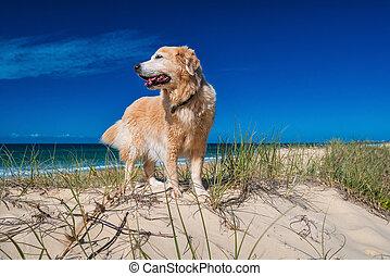 Golden retriever on a sandy dune overlooking tropical beach