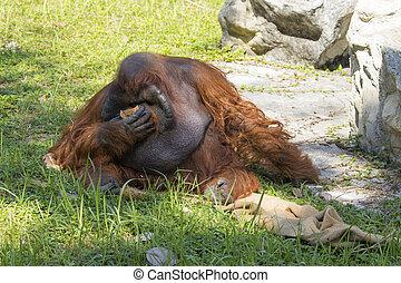 Image of a big male orangutan orange monkey on the grass....