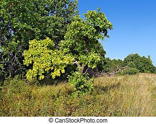 yellow sheet of the oak