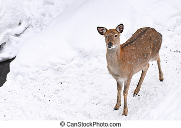 Wild deer in the snow filed