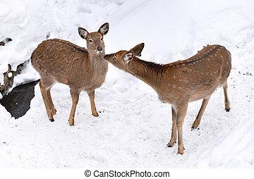 Wild deer in the snow filed