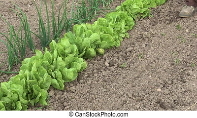 Farmer hoeing ground weeds from lettuce, organic vegetable...