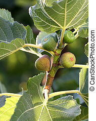 Unripe figs and  leaves on the branch.