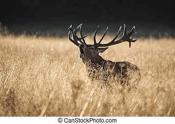 Majestic red deer stag cervus elaphus bellowing in open...