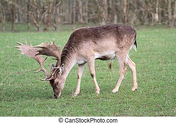 Beautiful Fallow Deer close up image