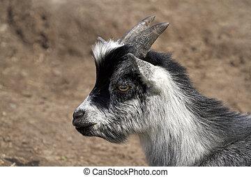 Black and gray goat kid close up image