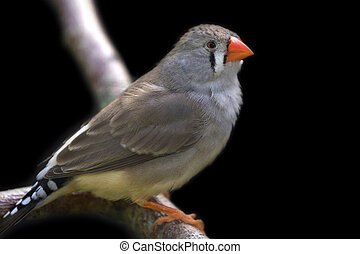 Zebra finch perched on branch close up image