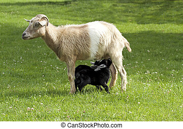 Mother goat feeding baby goats with milk close up image