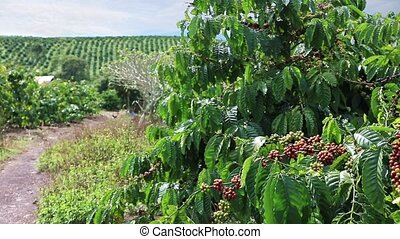 Coffee Plantation in Eastern Vietnam - Coffee plantation in...
