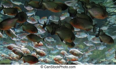 Red bellied piranhas swimming underwater.