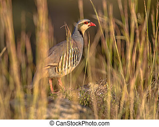chukar partridge looking through vegetation - chukar...