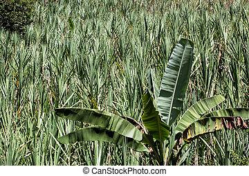Plantations of sugar cane. - A view of sugar cane...