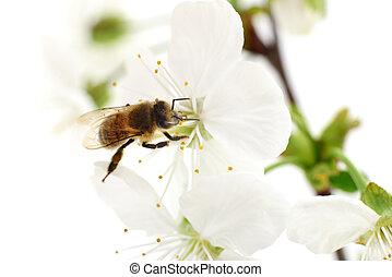Honeybee and white flowers - Nature background. Honeybee and...