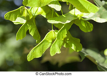 green maple seeds - immature green maple seeds hanging on a...