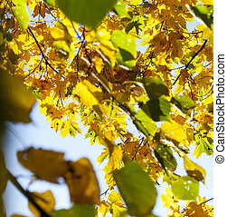 yellowed maple trees in autumn - yellowing leaves on maple...