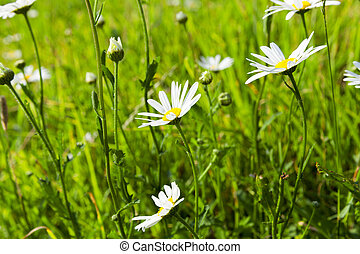 camomile flower close-up - photographed close-up camomile ,...
