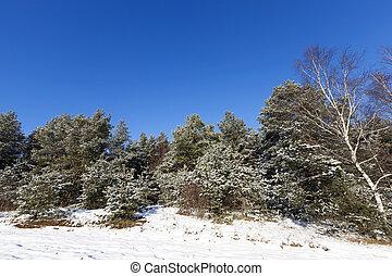 picea, nieve, invierno