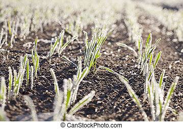 agricultural plants, frost - Agricultural field on which...