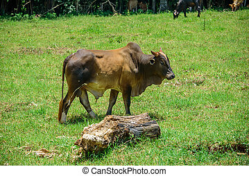 Brahman cow walking on the meadow with mouldering log on the...
