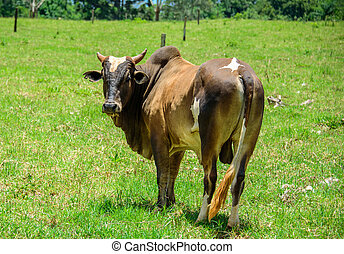 Brahman cow standing in the middle of the green meadow,...