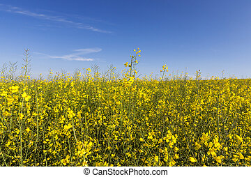 Rapeseed field , closeup - photographed close-up yellow...