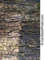 split the old tree - old wood exposed to weathering. Photo...