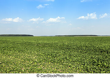 sugar beet field - sugar beet sprouts that wilted during the...